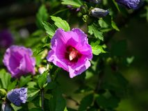 Woods` rose pretty pink flower. S Royalty Free Stock Photos