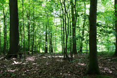 Woods in summer with light through green leaves Royalty Free Stock Photography