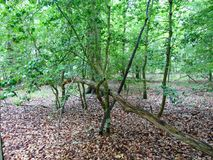 Woods In Summer. Thick woods with lots of undergrowth in summer stock image