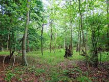 Woods In Summer. Thick woods with lots of undergrowth in summer royalty free stock image