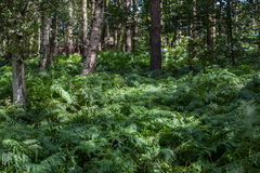 Woods Royalty Free Stock Photography