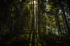 Woods. The sun coming through the trees in a forest Royalty Free Stock Photos