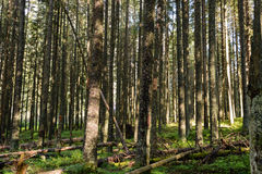 Woods at Tatra National Park Stock Image
