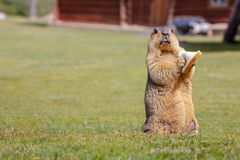 A lively and naughty marmot royalty free stock photo