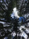In the woods. View on tall trees in the woods from bottom Royalty Free Stock Photo
