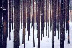 Woods at winter. A lot of straight trees in woods in winter Royalty Free Stock Photo