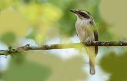 Woodshrike fågel Arkivbilder