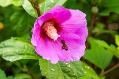 Woodsii Роза стоковое фото