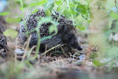 Woodsman hedgehog Royalty Free Stock Photo