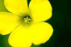 Woodsorrel giallo Fotografie Stock