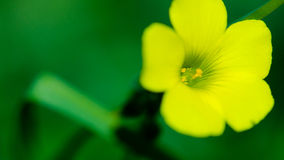 Woodsorrel jaune Image stock