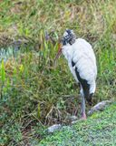 Woodstork Stock Photography