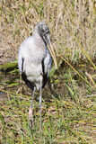 Woodstork (Mycteria americana) - 3 Stock Photography