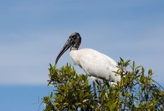 Woodstork (Mycteria americana) Royalty Free Stock Photos