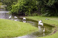 Woodstorks and Egrets wade in stream