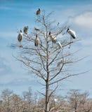 Woodstorks (Mycteria Американа) Стоковая Фотография