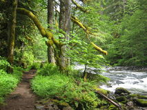 Woodsy Path by river. Trail near Mount Hood & river with moss on branches Royalty Free Stock Image
