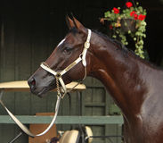 Woodward Stakes Winner Royalty Free Stock Photography