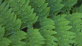 Woodwardia radicans, also known as chain fern, found in Anaga forests, Tenerife stock photos