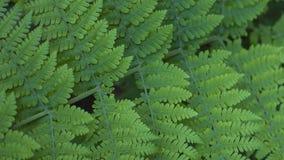 Woodwardiaradicans, också som är bekanta som den chain ormbunken, grundar i Anaga skogar, Tenerife Arkivfoton
