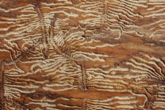 Woodworm Burrows in Ash Stock Photos