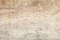 Woodworm in Oak Royalty Free Stock Photography