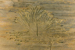 Woodworm pattern in dried birch tree in the forest Stock Photo