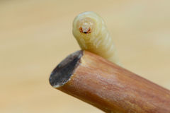 Woodworm Stock Photos