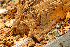 Woodworm Tree Stock Photography