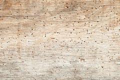 Woodworm w dębie Fotografia Royalty Free