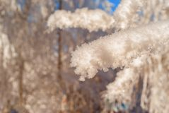 Snowy branches close-up royalty free stock photo