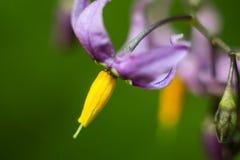 Woody nightshade, Solanum dulcamara. Nightshade bitter sweet afternoon near a small lake royalty free stock photo