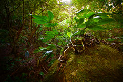 Woody Plant in Jungle Stock Image