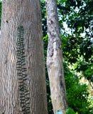 Woody Trunk fort épais - bois de construction de bois dur de Dipterocarpus Turbinatus - arbre de Garjan - forêt tropicale d'Andam images libres de droits