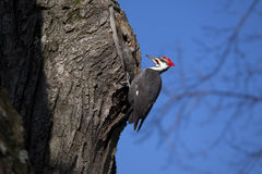 Woody Woodpecker Photos stock