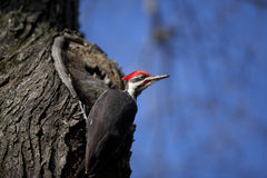 Woody Woodpecker Imagen de archivo