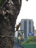Woody Woodpecker Imágenes de archivo libres de regalías