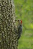 Woody Woodpecker, der schöne rotbrüstige Specht lizenzfreies stockfoto