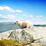 Wool lamb in mountains Royalty Free Stock Images