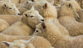 Wool Lambs Stock Photography