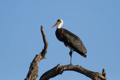 Wool neck stork sitting and grooming himself on a dry branch Royalty Free Stock Image