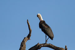 Wool neck stork sitting and grooming himself on a dry branch Stock Images