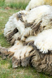 Wool of shaved sheep Stock Photography
