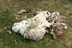 Wool of shaved sheep. Wool fleece of shaved sheep Stock Photos