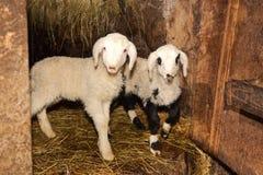 Wool shearing sheep for wool yarns Royalty Free Stock Photography