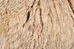 Wool sheep Royalty Free Stock Image