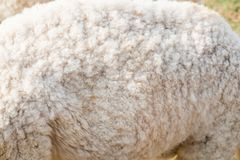Wool sheep body close up. Texture Stock Images