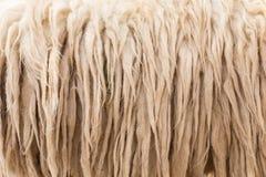 Wool sheep closeup Stock Images