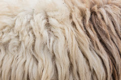 Wool sheep closeup Royalty Free Stock Photos