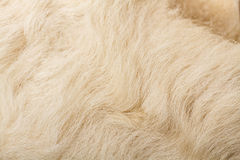 Wool sheep closeup Royalty Free Stock Image